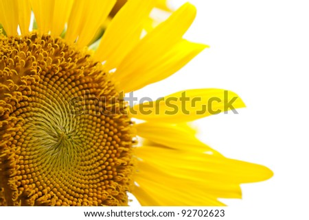 yellow sunflower close up