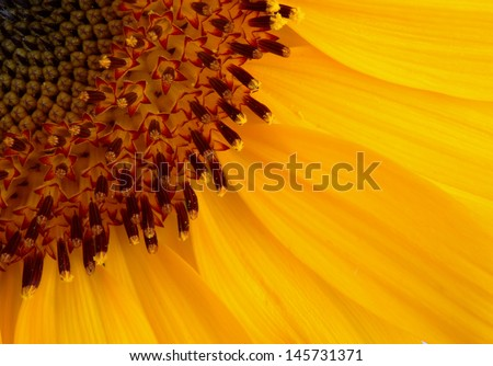 Yellow Sunflower in extreme close up - stock photo
