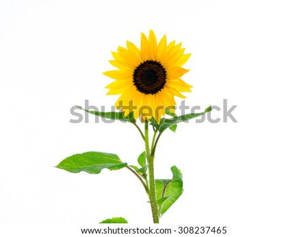 yellow sunflower in front of white background - stock photo