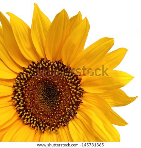 Yellow Sunflower in macro isolated on white - stock photo