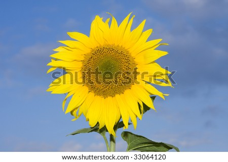 Yellow sunflower in summer afield with blue sky