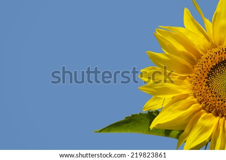 Yellow Sunflower in Summertime Over Blue Bbackground, Copyspace - stock photo