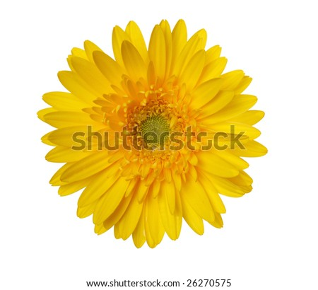 "yellow sunflower isolated on ""pure white"" background with ""path"" - stock photo"