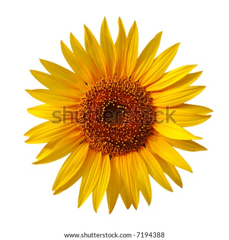 Yellow sunflower isolated on white - stock photo