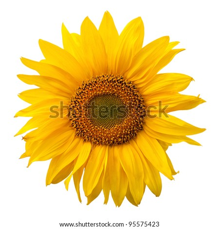 Yellow sunflower isolated on white background - stock photo