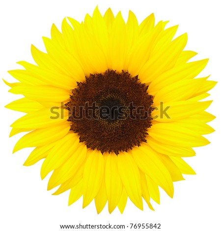 Yellow sunflower isolated on white background, clipping path included - stock photo