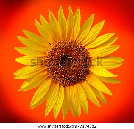 Yellow sunflower on orange background - stock photo