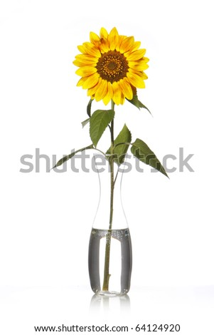 Yellow sunflower on vase with water isolated on white background - stock photo