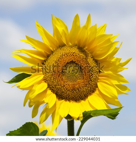 Yellow Sunflower Over Blue Sky in Sunny Summer Day - stock photo