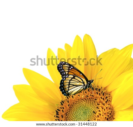 yellow sunflower with butterfly isolated - stock photo