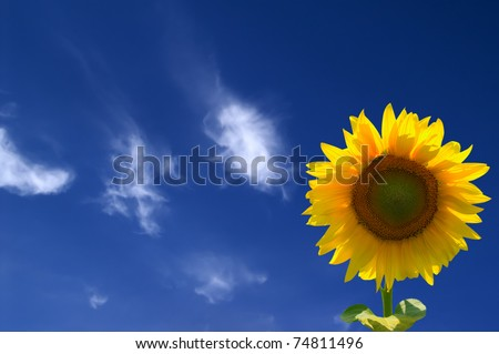 Yellow sunflowers against blue sky - stock photo