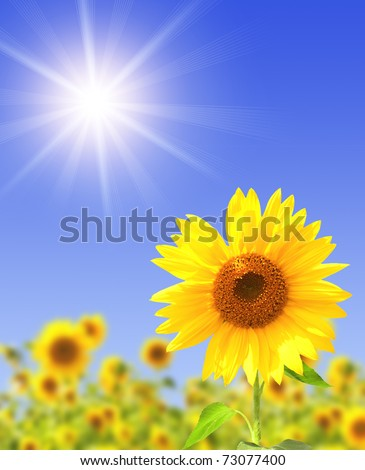 Yellow sunflowers and bright sun - stock photo