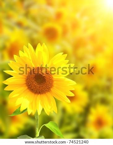 Yellow sunflowers and bright sun - stock photo