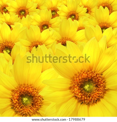 Yellow sunflowers Atop One Another