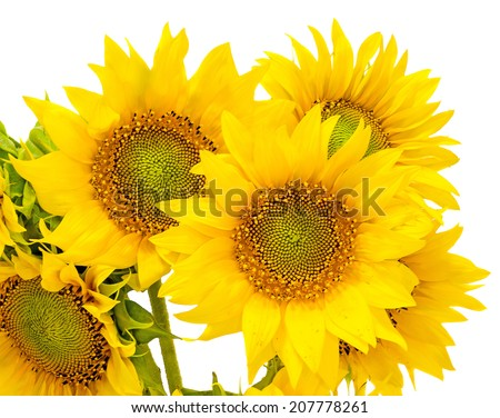 Yellow sunflowers, close up, isolated, cutout, white background