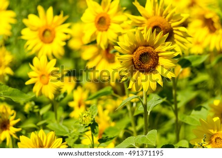 Yellow sunflowers closeup.