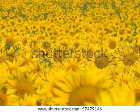 Yellow sunflowers field background. - stock photo