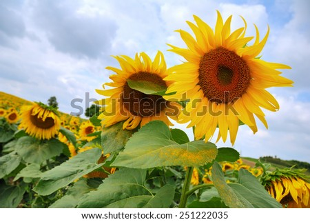 Yellow sunflowers field under a cloudy sky - stock photo