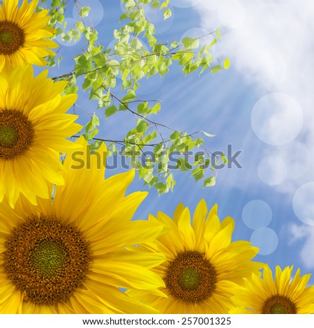 Yellow sunflowers in the sunlight isolated on abstract nature background in the corner of a square frame - stock photo