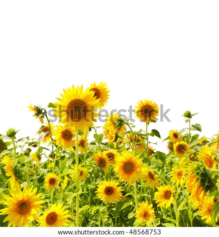 Yellow sunflowers - isolated over white - stock photo