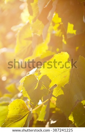 Yellow sunlight in the morning on grape leaf - stock photo