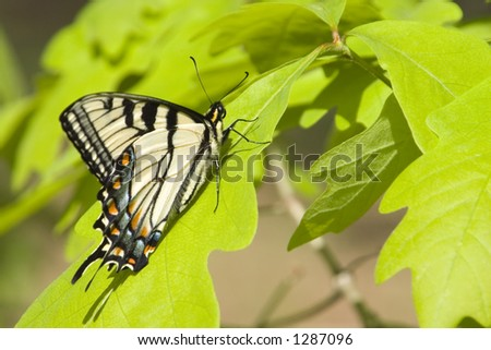 Yellow Swallow Tail Butterfly perched on an Oak tree leaf. - stock photo