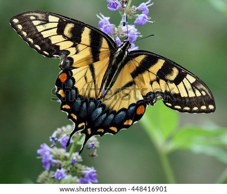 Yellow Swallowtail Butterfly on Chaste Tree Blossom