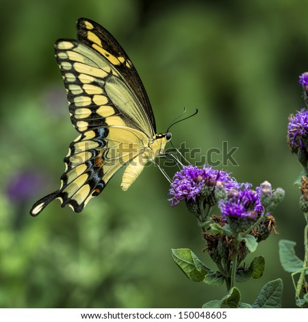 Yellow swallowtail butterfly sampling purple summer wildflowers in a Texas garden - stock photo