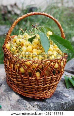 yellow sweet cherries in a large wicker basket - stock photo