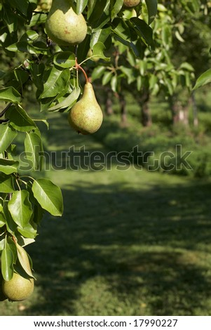 Yellow sweet pear on tree at farm