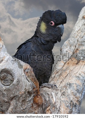 yellow tailed black cockatoo - stock photo