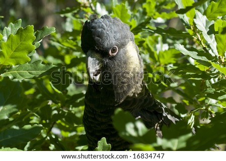 Yellow Tailed Black Cockatoo sitting in tree with green background