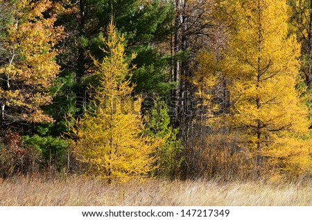 Yellow Tamaracks (Larix laricina) in Autumn - stock photo