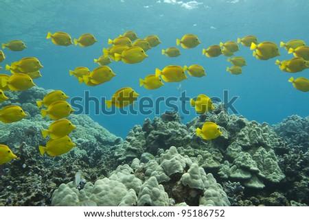 Yellow Tang School - stock photo