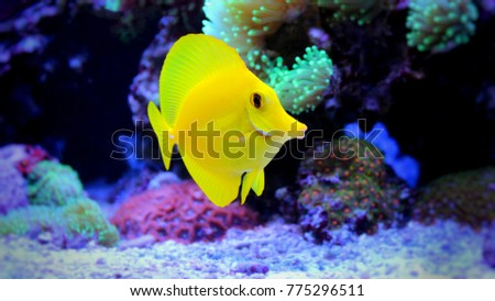 Yellow Tang (Zebrasoma flavescens)