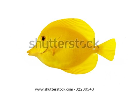 Yellow Tang (Zebrasoma flavescens) isolated on white background. - stock photo