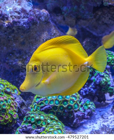 Yellow tang Zebrasoma flavescens saltwater aquarium fish