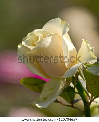 yellow tea rose in the city park - stock photo