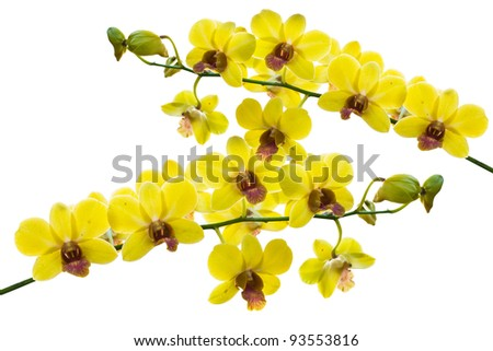 Yellow thai orchids.(This image contain clipping path)