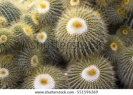 Yellow Thorn of green cactus in nature