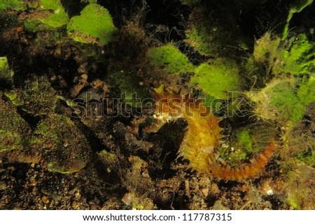 Yellow thorny seahorse next to sea weed (Hippocampus histrix) - stock photo