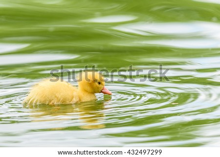 Yellow Tiny Duckling On Water - stock photo
