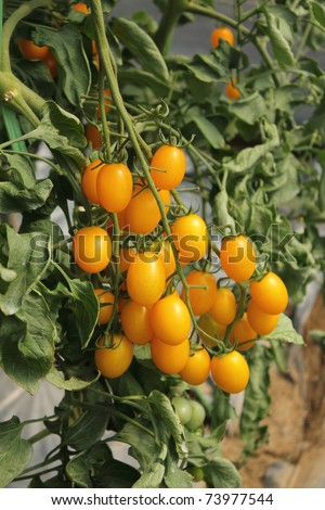 Yellow tomatoes in greenhouse - stock photo