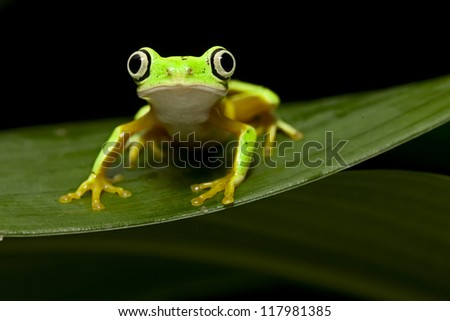yellow tree frog at night in tropical jungle of Panama or Costa Rica treefrog Agalychnis lemur an animal with big eyes for nocturnal life - stock photo