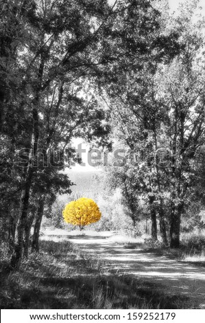 Yellow tree in the path of the forest in black and white a bright autumn day / Yellow tree in the path - stock photo