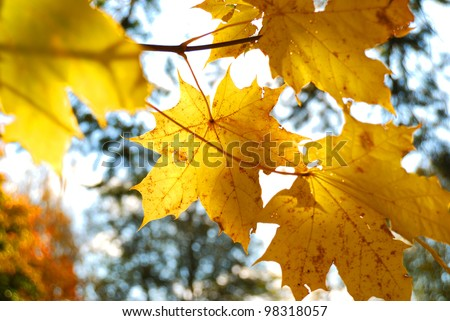 yellow tree leafs close-up in Fall season. Shallow depth of field