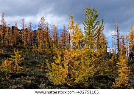 Yellow trees in mountain valley.  Frosty Mountain. Manning Provincial Park. Hope. British Columbia. Canada.