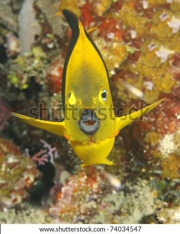 yellow tropical angelfish, utila, honduras - stock photo