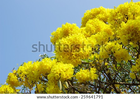 Yellow trumpet flower and tree. - stock photo