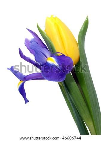 Yellow Tulip and Blue Iris - stock photo
